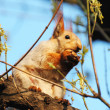Стоковое фото: Little red squirrel is cracking nuts