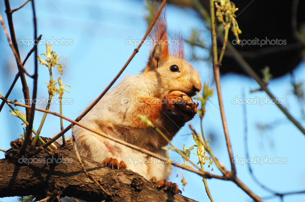 Little red squirrel is cracking nuts  Stock Photo #3339774