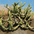 Stock Photo: Asicactus plant in desert,India