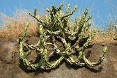 Asian cactus plant in the desert,India — Stock Photo