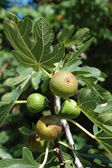Fig tree (Ficus carica) fruits — Stock Photo