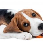 Beagle puppy eating — Stock Photo