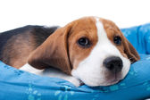Beagle puppy sitting — Stock Photo