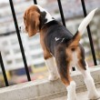 Beagle puppy standing on balcony — Stock Photo