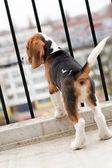 Beagle puppy standing on balcony — Stock Photo