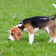 Stock Photo: Beagle on green grass