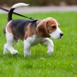Stock Photo: Beagle dog on scent