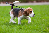 Beagle dog on the scent — Stock Photo