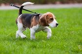 Beagle hond op de geur — Stockfoto