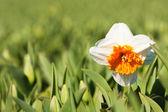 フィールド - 白い花水仙 — ストック写真