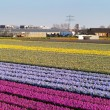 Field of flowers. Panorama - Stock Photo