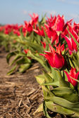 Tulips in field — Stock Photo