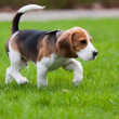 Beagle dog on green grass — Stock Photo #3529003