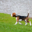 Beagle on green grass — Stock Photo
