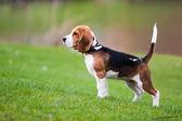 Beagle on green grass — Stock Photo