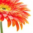 Orange gerbera — Foto de Stock
