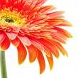 Orange gerbera — Foto Stock