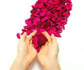 лепестки розы — Стоковое фото
