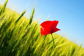 Red poppy — Stock Photo