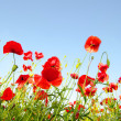 Bright red poppies — Stock Photo