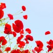 Stock Photo: Bright red poppies