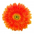 Orange gerbera — Stock Photo #2780179