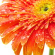 Royalty-Free Stock Photo: Gerbera