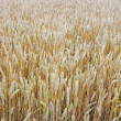 Grain — Stock Photo #2870057