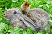 A rabbit and chicken — Stock Photo