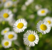 Beautiful white chamomiles — Stock Photo