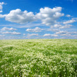 Field of camomiles - Foto Stock