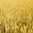 Stock Photo: Grain