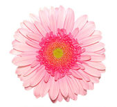 Pink gerbera daisy isolated on white — Stock Photo