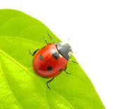 Ladybug — 图库照片