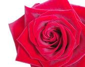 Krásné kvetoucí růže — Stock fotografie