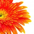 Orange gerbera flower — Stock Photo #3241390
