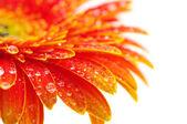 Orange gerbera flower — Stock Photo