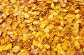 Folhas de outono caído — Fotografia Stock