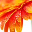 Orange gerbera — Stock Photo #3888736