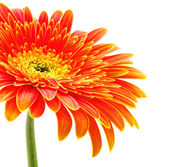 Orange gerbera — Stock Photo