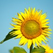 Sunflower — Stock Photo #3515982