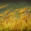 Wheat — Stock Photo #2862133