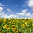 Sunflowers — Stock Photo #3136507