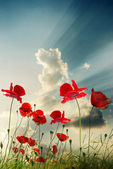 Poppy red — Stockfoto