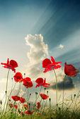 Rosso papavero — Foto Stock
