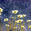 GRUNGE FIELD OF DAISY FLOWERS — Stock Photo