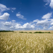 Field of wheat — Foto Stock