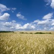 Field of wheat — Stockfoto