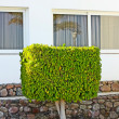 Ficus tree — Stock Photo