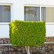 Ficus tree — Stock Photo #3038552